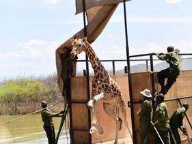 Operação no Quênia resgata girafas ameaçadas de extinção presas em ilha prestes a desaparecer