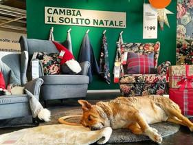 Loja de móveis Ikea localizada na Itália abre suas portas para cães abandonados durante os meses con