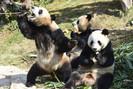 Banco da China construirá uma enorme área de conservação de pandas gigantes no valor de 1,5 bilhão d