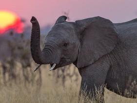 Após a proibição do marfim na China, população de elefantes cresce em toda África