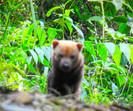 Ameaçada de extinção, espécie cachorro-vinagre é vista e fotografada pela primeira vez no RS