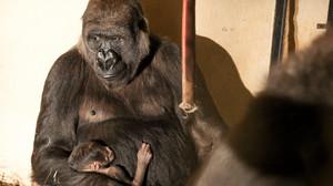 Zoológico de BH registra nascimento de gorila de espécie ameaçada de extinção
