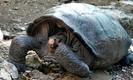 Tartaruga gigante de Galápagos dada como extinta há 100 anos é reencontrada