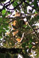 Espécie raríssima de canguru-das-árvores que pensavam estar extinta é fotografada pela primeira vez
