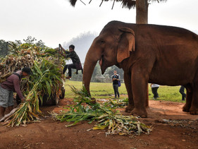 Dezenas de elefantes na Tailândia foram permanentemente liberados do fardo de transportarturistas p