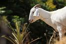 Bombeiros da Califórnia estão utilizando cabras para se alimentarem de arbustos e prevenirem incêndi