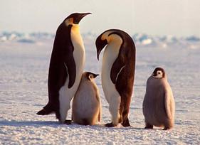 Antártida tem quase 20% a mais de colônias de pinguins-imperador do que se pensava