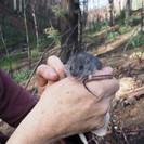 Smoky mouse, espécie ameaçada de extinção temida de ter sido eliminada durante os incêndios floresta