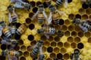 Cientistas estão desenvolvendo bactérias projetadas para proteger abelhas de pragas e patógenos