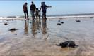 Praia de Mumbai vai de depósito de lixo para local de nascimento de tartarugas ameaçadas de extinção