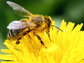 França se torna o primeiro país da Europa a proibir todos os cinco pesticidas que matam abelhas