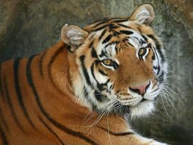 População de tigres no Nepal praticamente dobrou de tamanho após 10 anos de trabalho de conservação