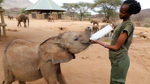 Santuário de elefantes no Quênia testa leite de cabra como opção alimentar mais saudável
