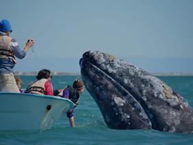 Baleia-cinzenta estabelece novo recorde ao atravessar meio mundo