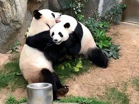 Casal de pandas-gigantes de parque em Hong Kong acasala-se pela primeira vez em mais de 10 anos devi