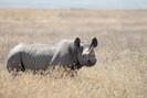 Rinocerontes negros retornam ao país de Chade 50 anos depois de terem sido extintos localmente