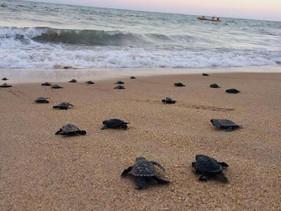 Com praias vazias, 97 tartarugas-de-pente nascem em Pernambuco