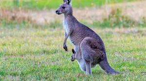 A Prada, marca de luxo italiana, anunciou que não usará mais couro de canguru