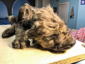 Filhote de 18 mil anos é encontrado intacto na Sibéria e pode ser o cão mais velho do mundo