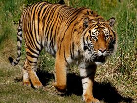 2 raros Tigres-de-Sumatra se recuperam completamente após contraírem COVID-19 na Indonésia
