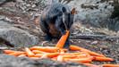 Austrália usa helicópteros para alimentar animais afetados pelos incêndios