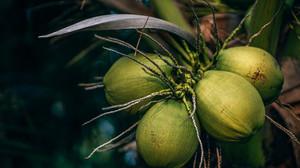 Ufes obtém patente de processo que transforma casca de coco em etanol