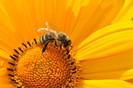 França proíbe dois pesticidas americanos prejudiciais ao sistema nervoso central das abelhas