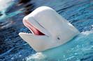"""A última beluga foi finalmente libertada da """"prisão de baleias"""" localizada na Rússia"""