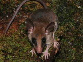 Espécie de marsupial é descoberta na Bacia do Tapajós, na Amazônia