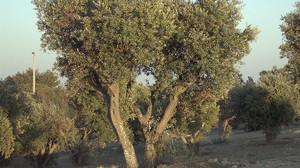 Projeto espanhol promove adoção de oliveiras centenárias