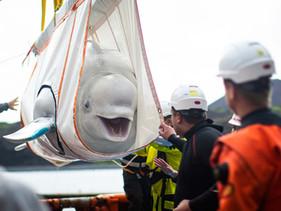 Duas baleias beluga ganham a liberdade e retornam ao mar após passar 10 anos presas em um aquário da