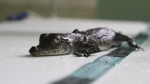 Crocodilos ameaçados de extinção nascem em zoológico do Peru pela primeira vez na América Latina
