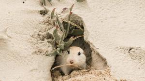Em perigo de extinção, tuco-tuco das dunas é fotografado no Litoral Norte do Rio Grande do Sul