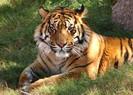 População de tigres cresce mais de 30% em quatro anos na Índia após aumento da proteção ambiental