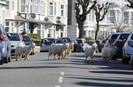 Rebanho de 120 cabras selvagens percorre livremente em cidade do País de Gales após quarentena