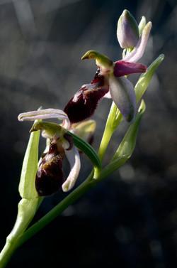 Envol d'ophrys