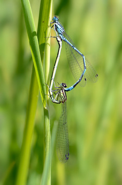 Amours de libellules