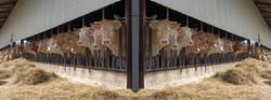 vaches à Ainharp