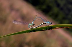 Coeur de libellule