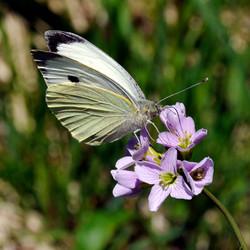 Papillon et cardamine