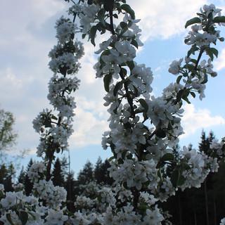 blommande.jpg
