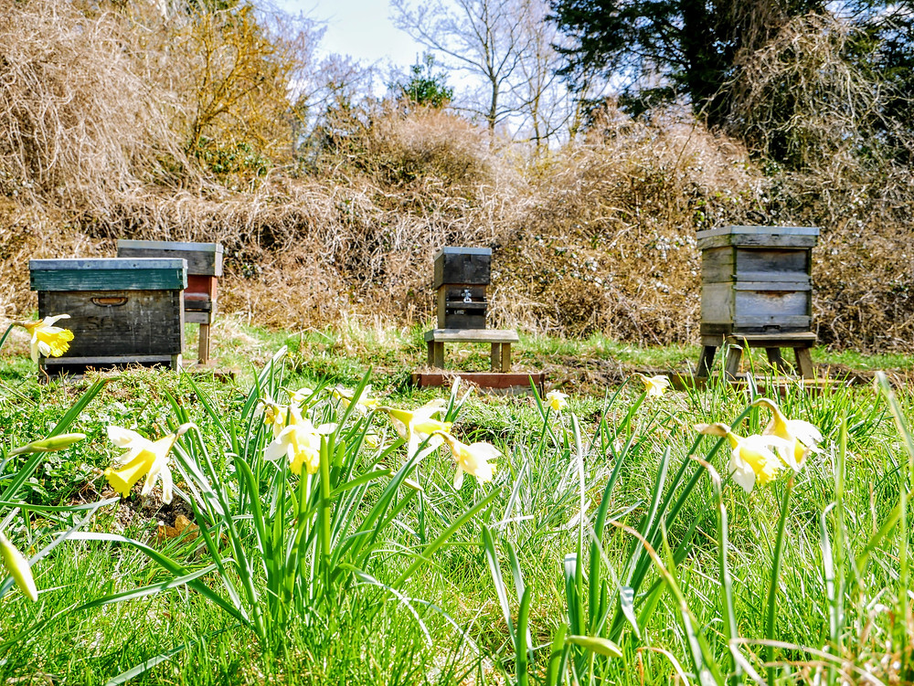 Beehives in the Apiary with Daffodils