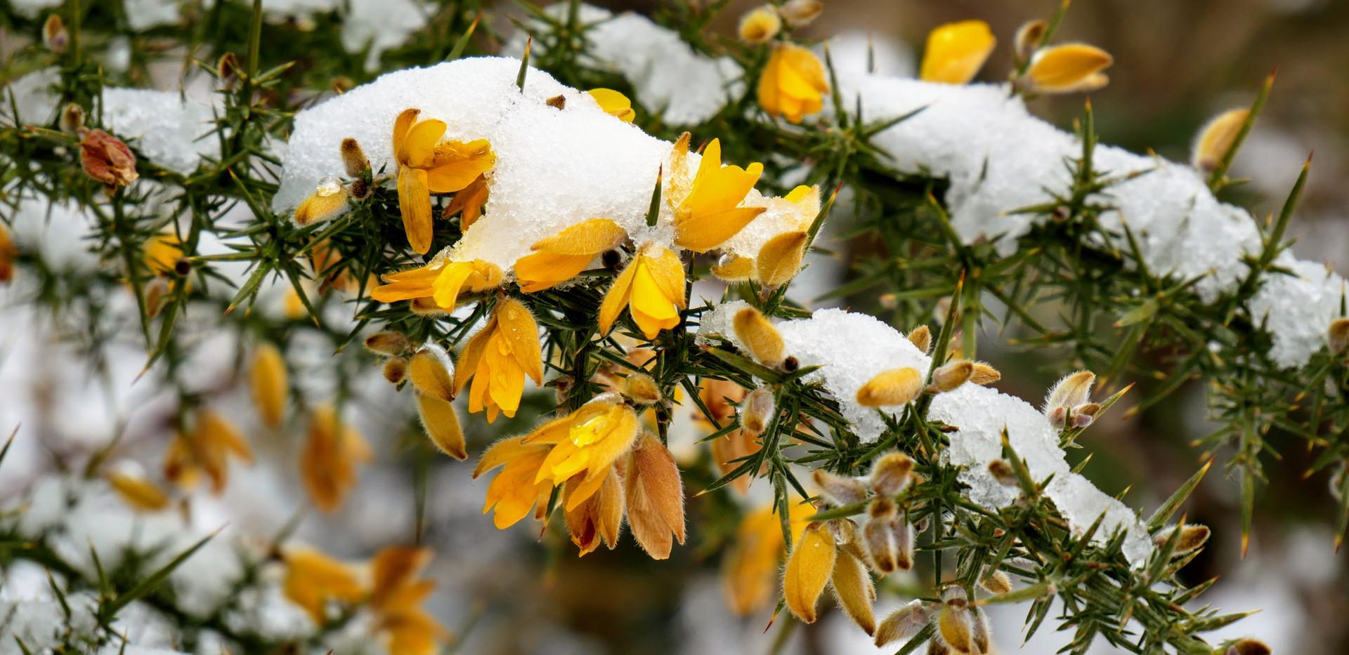 Snow on Gorse.JPG