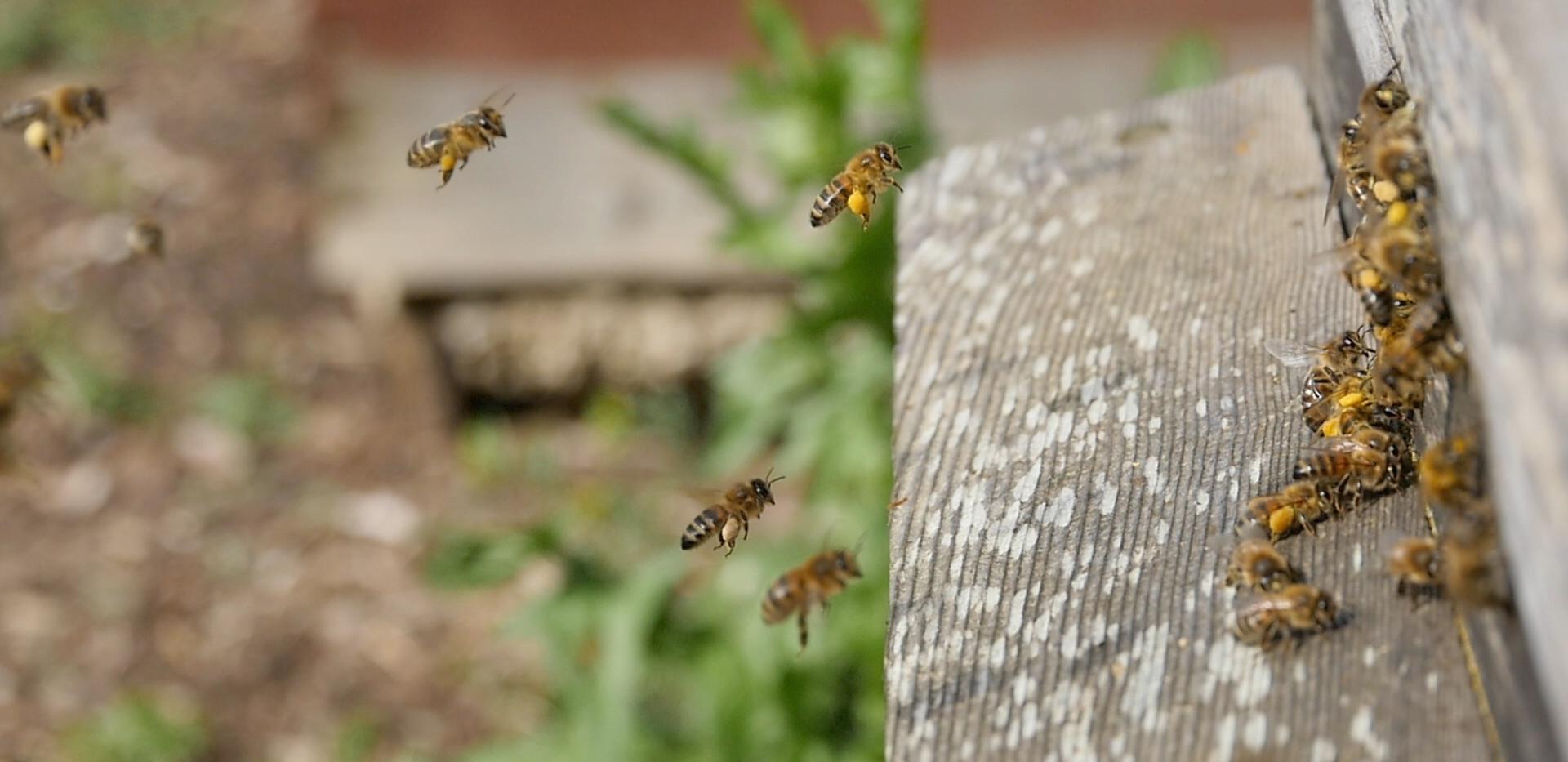 Pollen Bee in Flight1.jpg