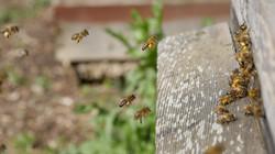 Pollen Bee in Flight1