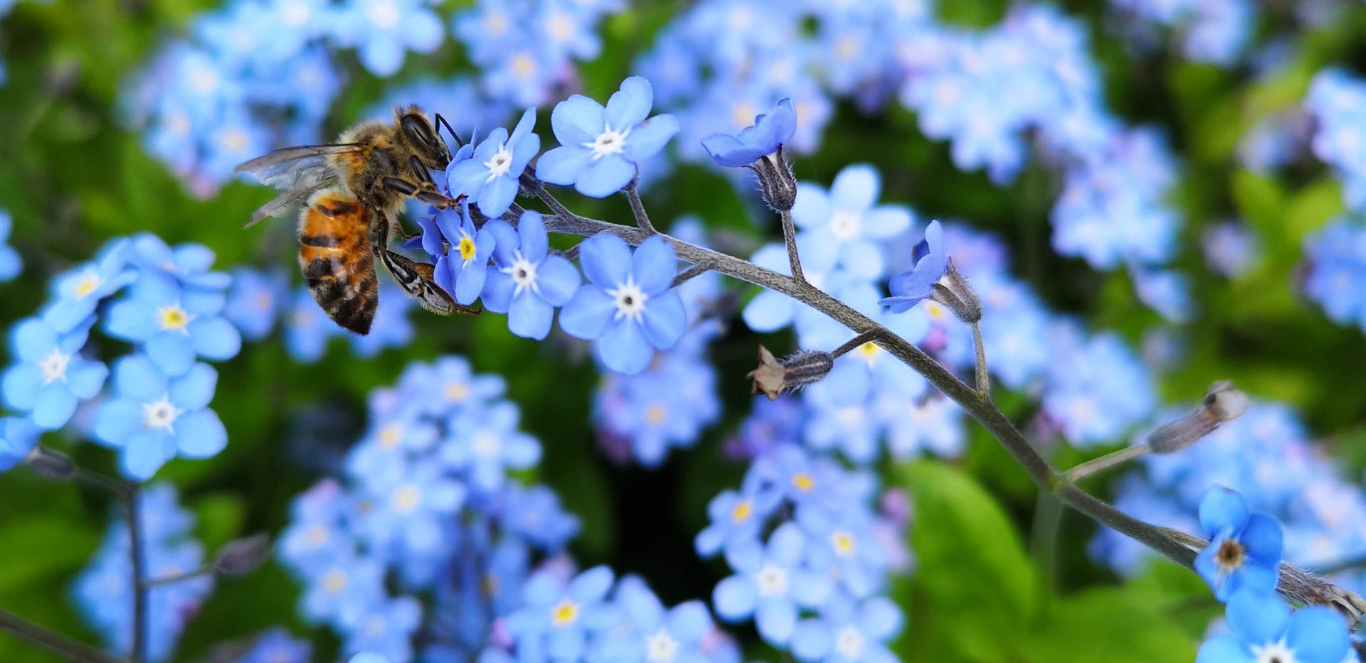 Honeybee on Forget-Me-Not by Stewart Spinks