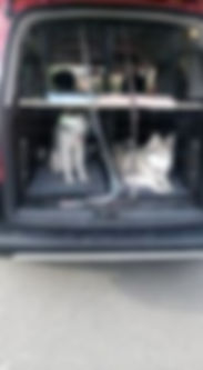 Huskies in my dog walking van
