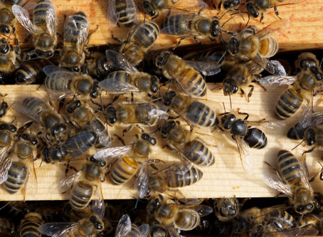 Chronic Bee Paralysis Virus: Signs and Symptoms - Practical Guidance