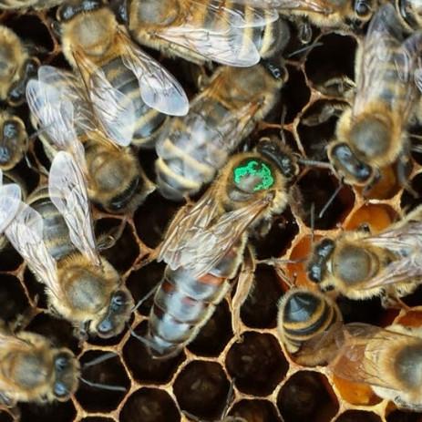 Locally Adapted Honeybee Queen.jpg