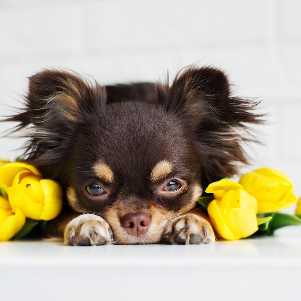 Påskeliljer inneholder flere stoffer som er giftige for hunder og katter. Hele planten inneholder disse giftstoffene, men konsentrasjonen er størst i blomsterløken.